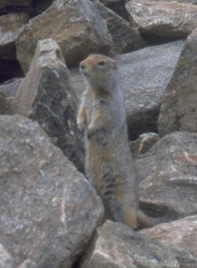 The inhabitant of the summit stone pile