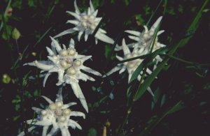 Huge amounts of Edelweiss
