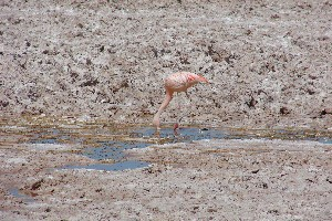 Three species of flamingos are living here