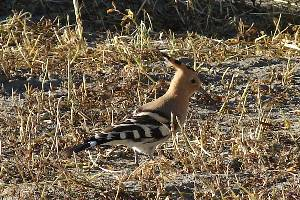 Hoopoe near our tent site