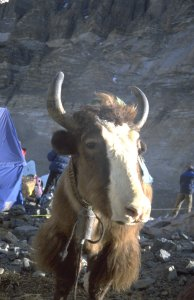 Yak in intermediate camp